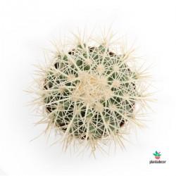 Echinocactus Grusonii var....