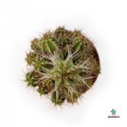 Euphorbia Fruticosa M-8,5