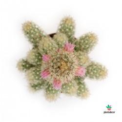 Mammillaria Elongata (Pequeña)