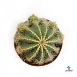 Notocactus Magnificus grande