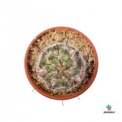Mamillaria Longiflora...