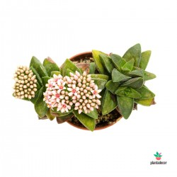 Crassula Springtime Mini