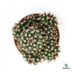 Mammillaria Voburnesis
