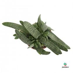 "Gasteria Carinata ""Verrucosa"""