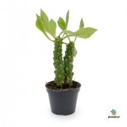 Monadenium Guentheri