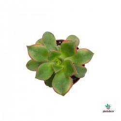Aeonium Kiwi mini