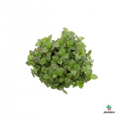 "Callisia Repens ""Turtle"" -..."