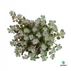"""Sedum Spathulifolium """"Cape..."""