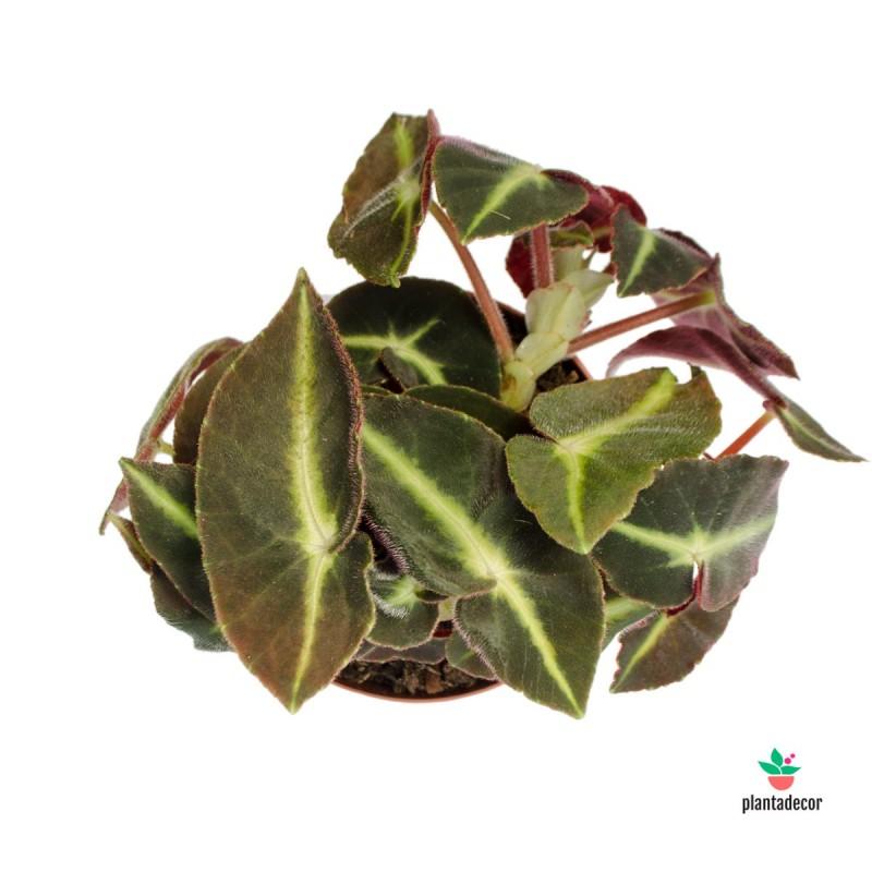 Begonia Listada M-12