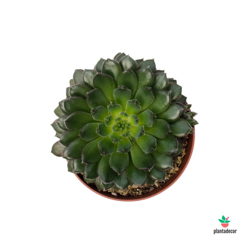 Echeveria Scorpio