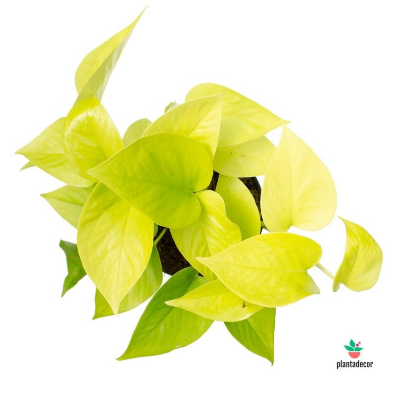 """Epipremnum Pinnatum """"Golden Pothos"""""""