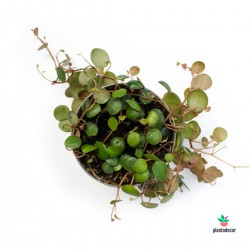 Peperomia Pepperspot M-9
