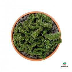 Euphorbia Horrida f....