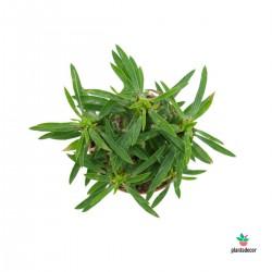"Euphorbia Loricata ""Lamarck"""