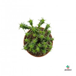 Euphorbia Submammillaris f....