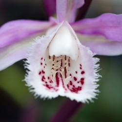 Orquidea de Jardin Pleione...