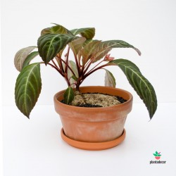 Caudex Impatiens Phengklaii comrar