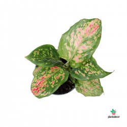 "Aglaonema Lady Valentine ""Mini"""