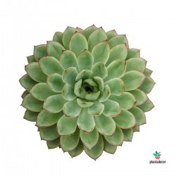 Echeveria Pulidonis M-8,5 cm