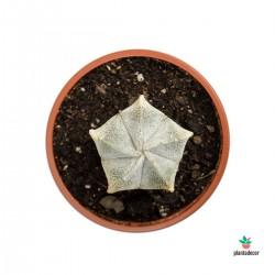 Astrophytum Coahuilense...