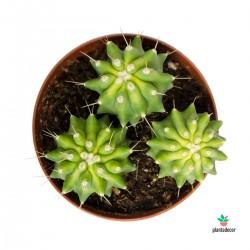 Ferocactus Glaucens Nudum...