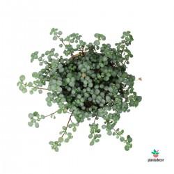 Pilea Glaucophylla Greyzy...