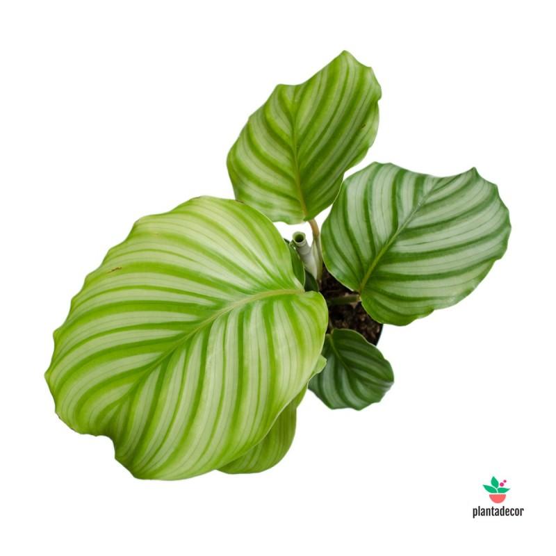 "Calathea Orbifolia ""Mini"""