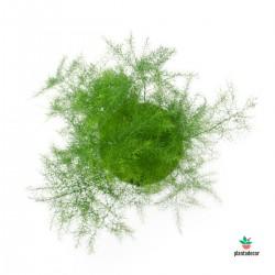 Asparagus Nanus