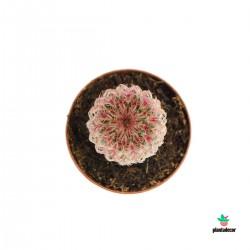 Echinocereus Rigidissimus...