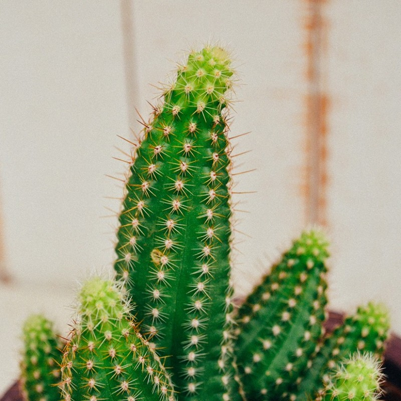 Echinopsis Chamaecereus var. Cactus Art