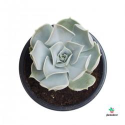 Echeveria Lilacina M-10,5