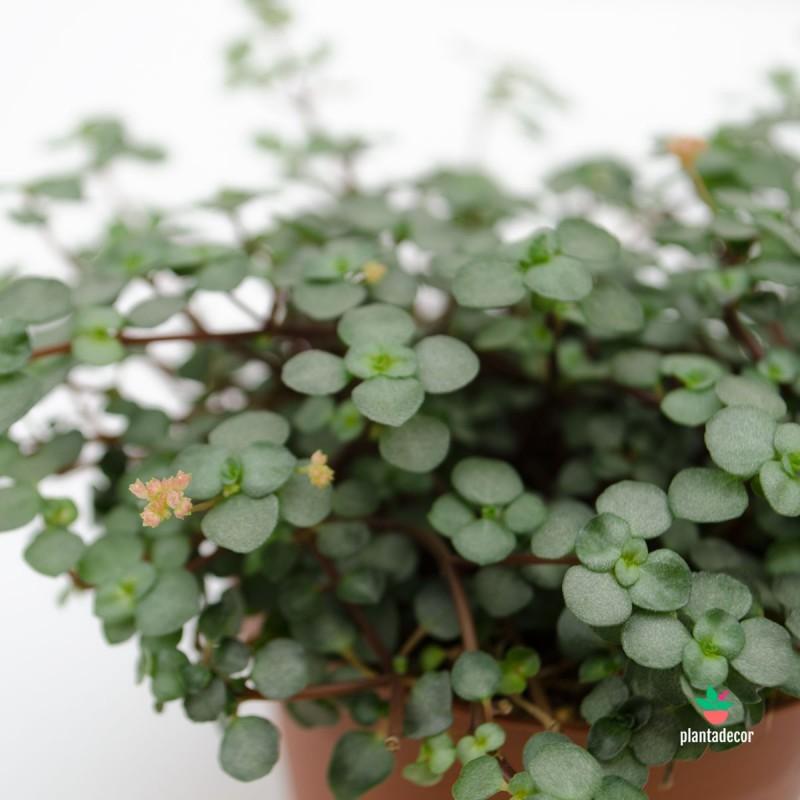 Pilea Glaucophylla Greyzy