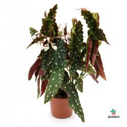 Begonia Maculata M-14