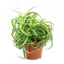 Chlorophytum Comosum var....