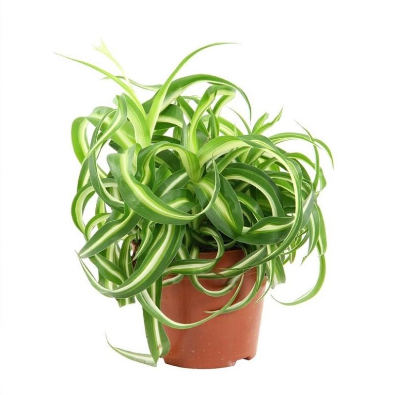 Chlorophytum Comosum var. Bonnie