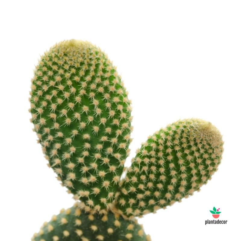 Opuntia Microdasys Pallida mini