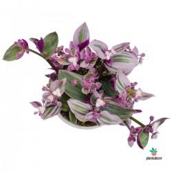 Tradescantia Albiflora...