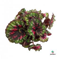 """Begonia Rex  """"Macarena"""""""