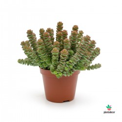 Crassula Rupestris ssp....
