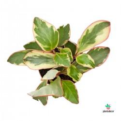Peperomia Clusiifolia...