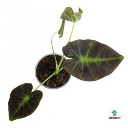 Colocasia Black Magic M-12