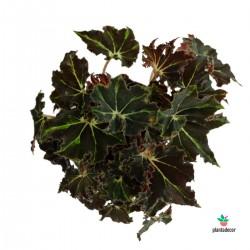 """Begonia Rex """"Evy"""""""
