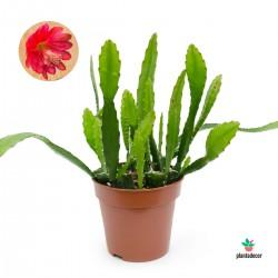 Epiphyllum Ackermannii /...