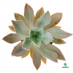 Graptoveria Fred Ives Extra