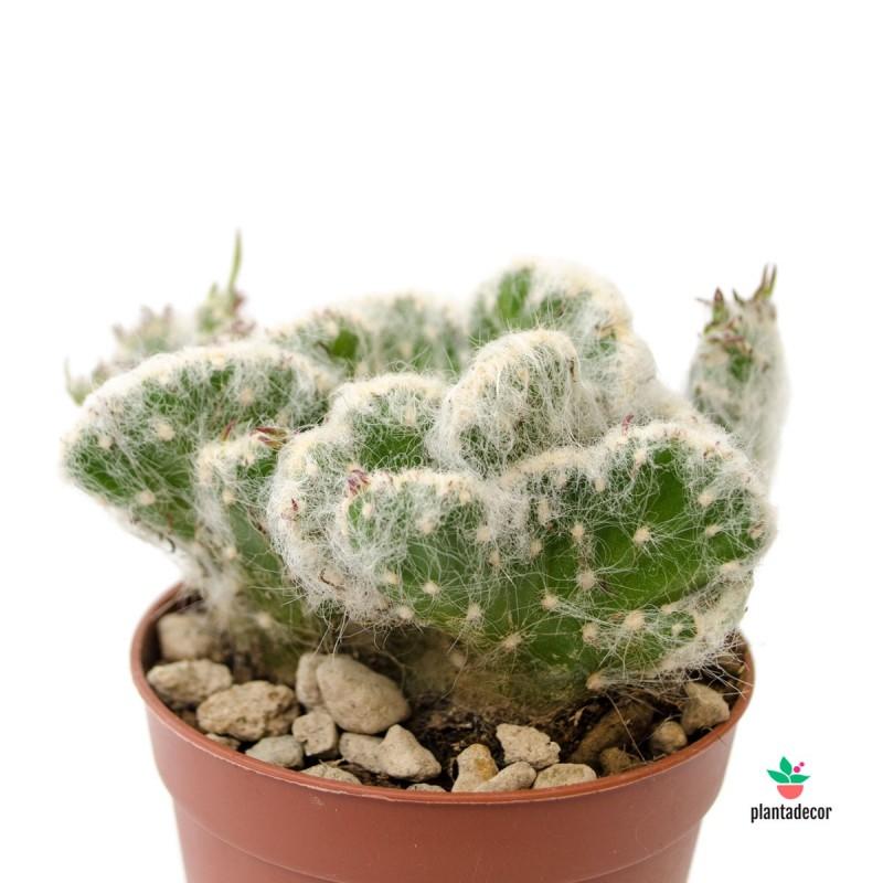 "Austrocylindropuntia Vestita ""Cristata"""