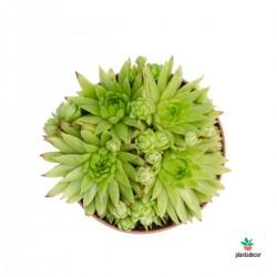 Sempervivum Albota Green