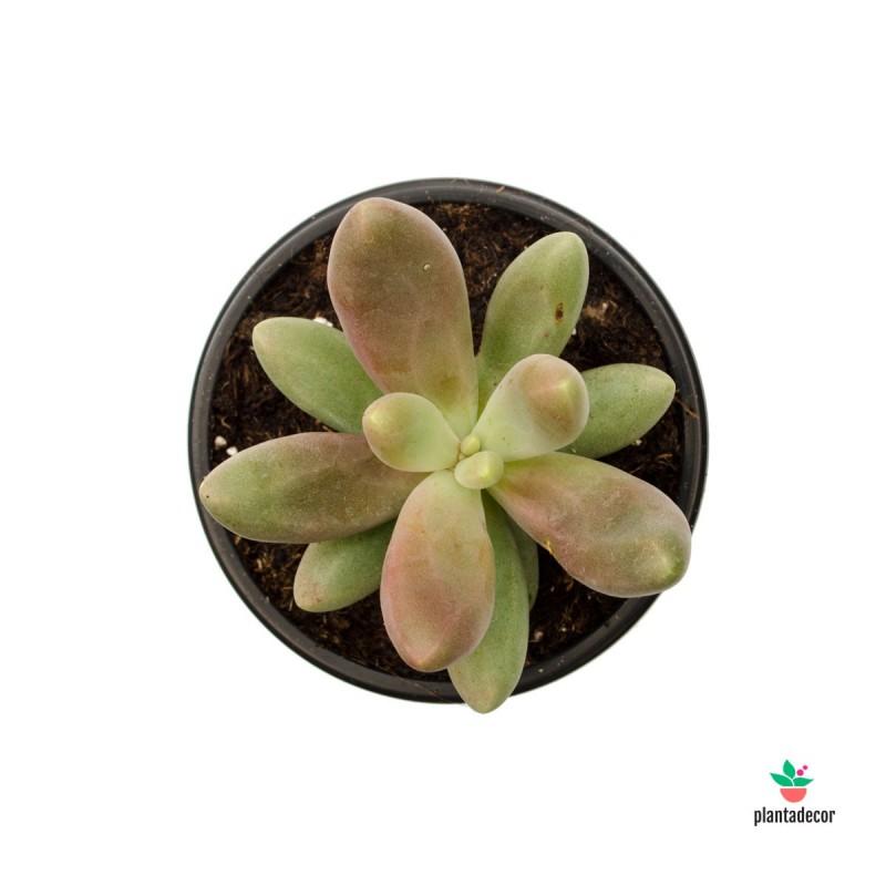 Pachyphytum Fittkaui