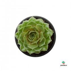 Sempervivum Moss Rose