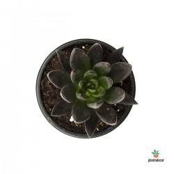 echeveria affinis negra