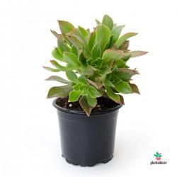 Aeonium Haworthii - Kiwi Verde